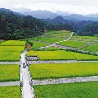 湖北宜城朱市30亩水田寻求水稻示范合作 土地编号:13