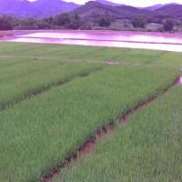 湖北石首高陵镇20亩水田寻求水稻示范合作 土地编号:20