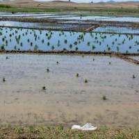湖北枝江龙泉堂村20亩水田寻求水稻示范合作 土地编号:23