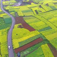 安徽省滁州市天长市717亩水稻种植示范田