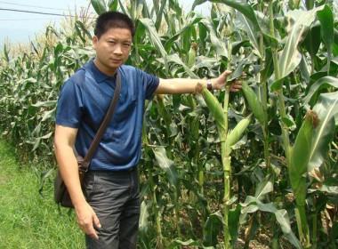 金银208超甜玉米杭州示范