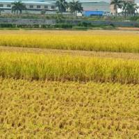 安徽省安庆怀宁县600亩水田寻求水稻示范种植合作 土地编号:214