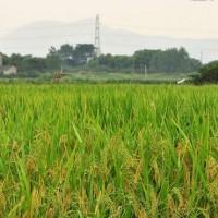 安徽省安庆怀宁县500亩水田寻求水稻示范种植合作 土地编号:216