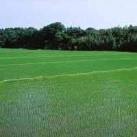 安徽省安庆市大观区140亩水田寻求水稻种植示范合作 土地编号:219