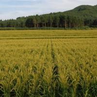 安徽省安庆市大观区50亩水田寻求水稻种植示范合作 土地编号:220
