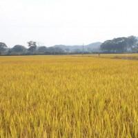 安徽省安庆市大观区120亩水田寻求水稻种植示范合作 土地编号:221