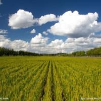 安徽省安庆市大观区160亩水田寻求水稻种植示范合作 土地编号:223