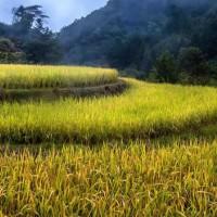 安徽省黄山市黄山区170亩水田寻求水稻种植示范合作 土地编号:228