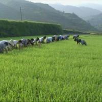 湖南永州祁阳县肖家镇200亩水田可做示范田 土地编号:236