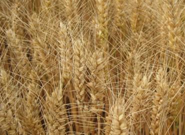 中麦578河南示范数据