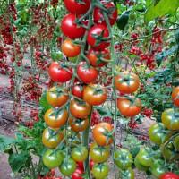 樱桃番茄 编号:8