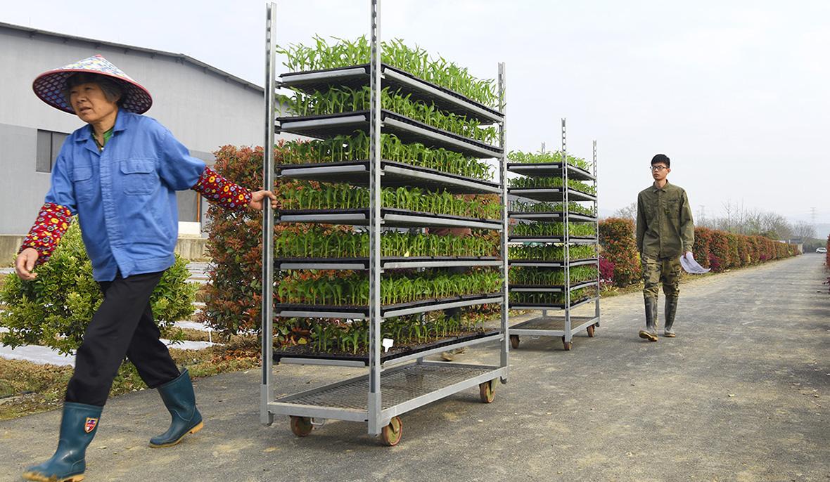 玉米大会玉米苗移栽中