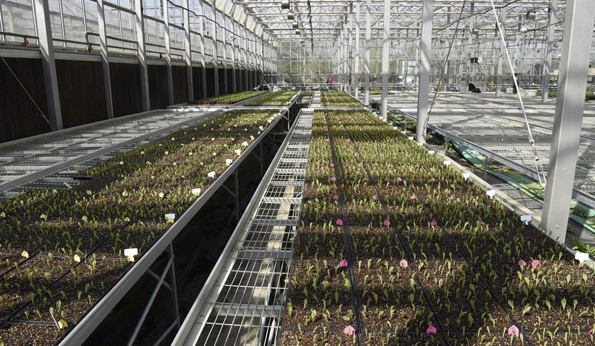 玉米大棚育苗
