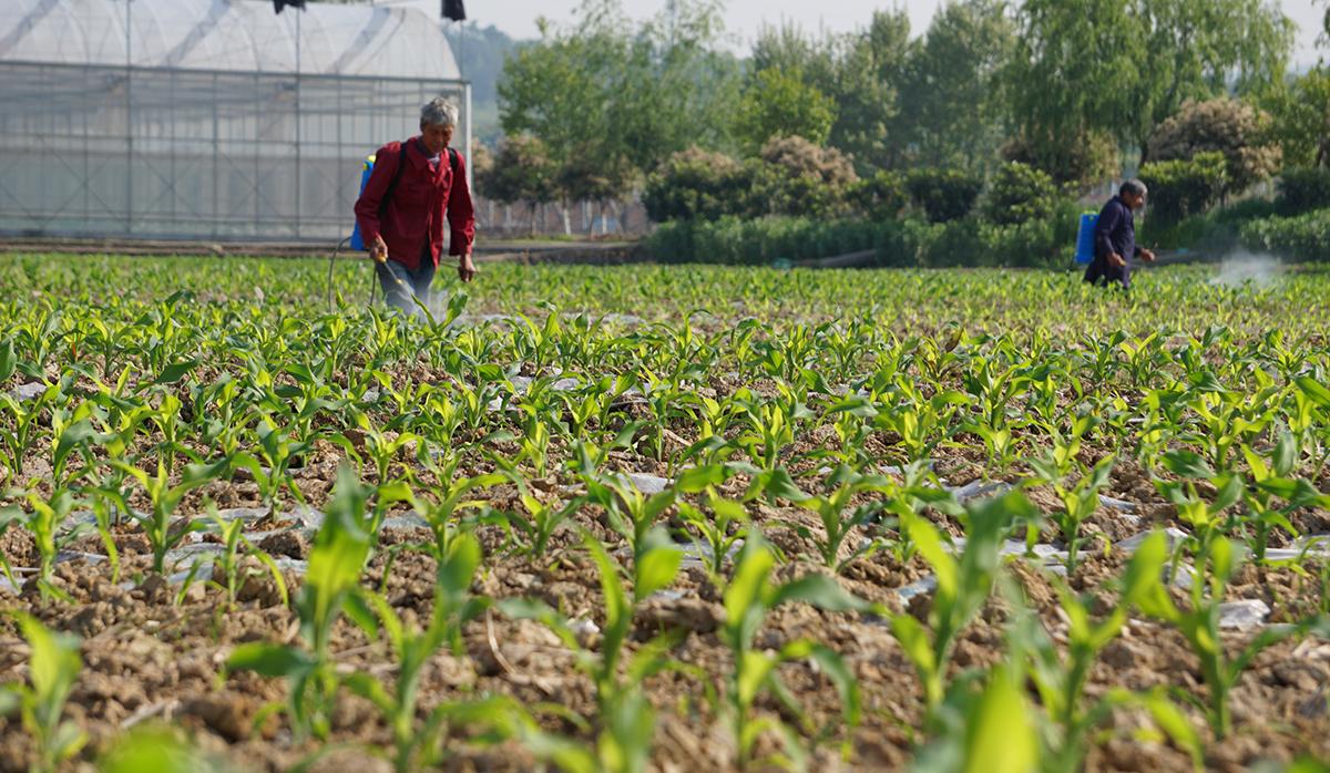 玉米苗期防治工作