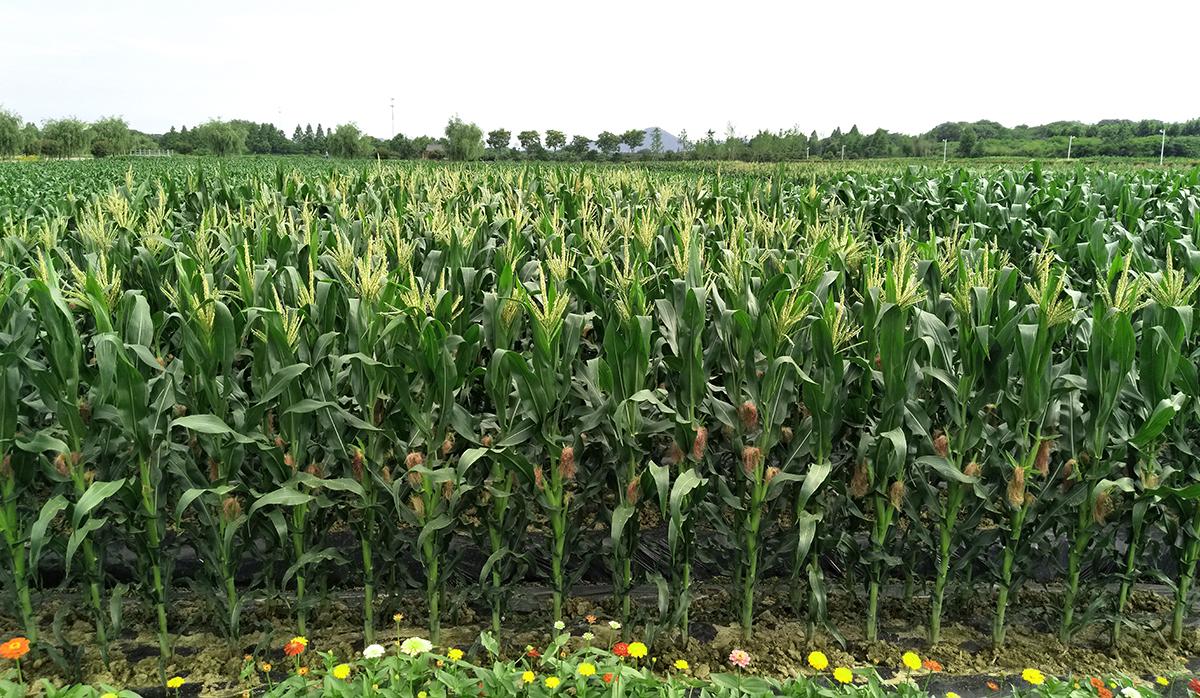 玉米开花吐丝
